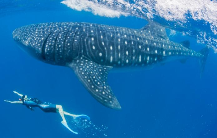 whale-shark-los-cabos